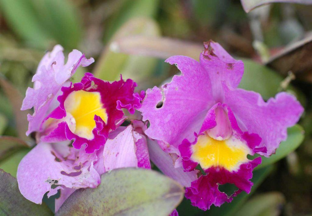 Cattleya: Fraß durch Nacktschnecken an Blüte - © Holger Nennmann
