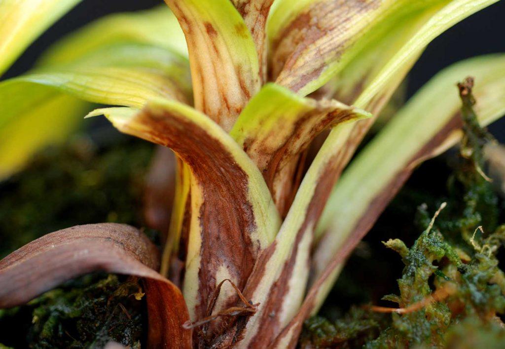 Disa: Phytophthora-Stängelfäule - © Holger Nennmann