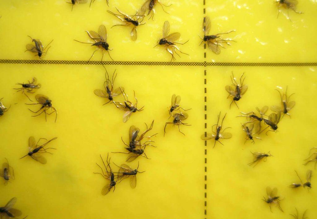 Trauermücken (Sciara) auf Gelbtafel - © Holger Nennmann
