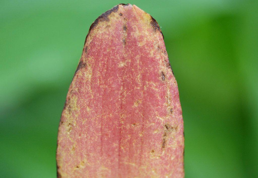 Lycaste: Blattschäden durch Blattläuse - © Holger Nennmann