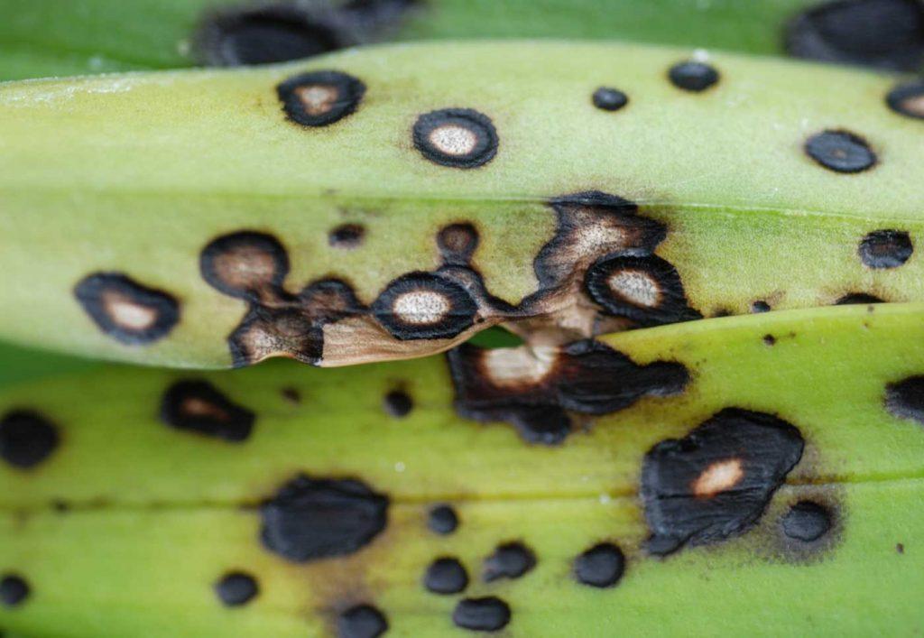 Masdevallia: Colletotrichum-Blattflecken - © Holger Nennmann