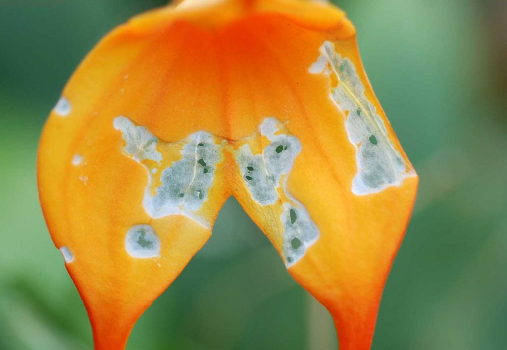 Masdevallia: Fraßschäden durch Schmetterlingsraupen - © Holger Nennmann