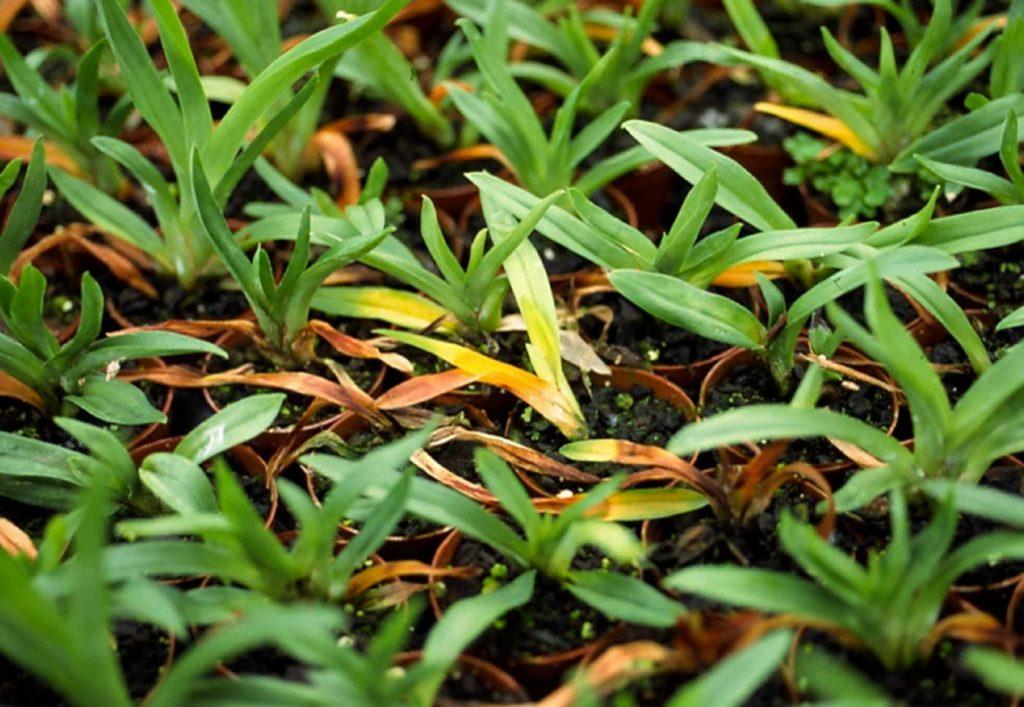 Miltonia: Rhizoctonia solani, Wurzelfäule bei Jungpflanzen - © Holger Nennmann