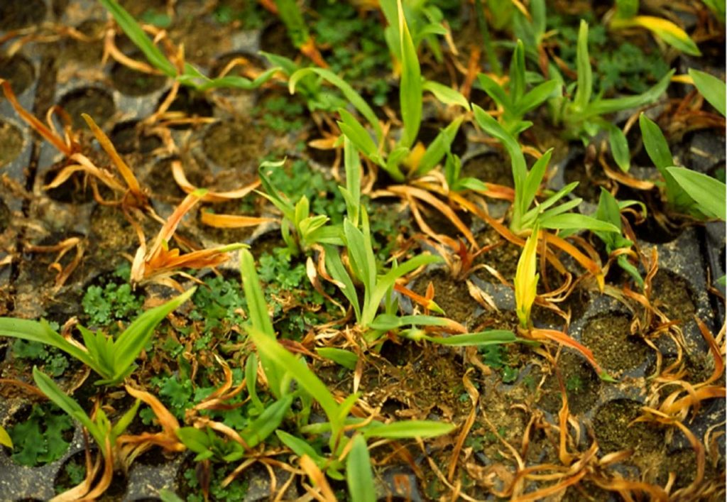 Miltonia: Orfelia an Jungpflanzen - © Holger Nennmann