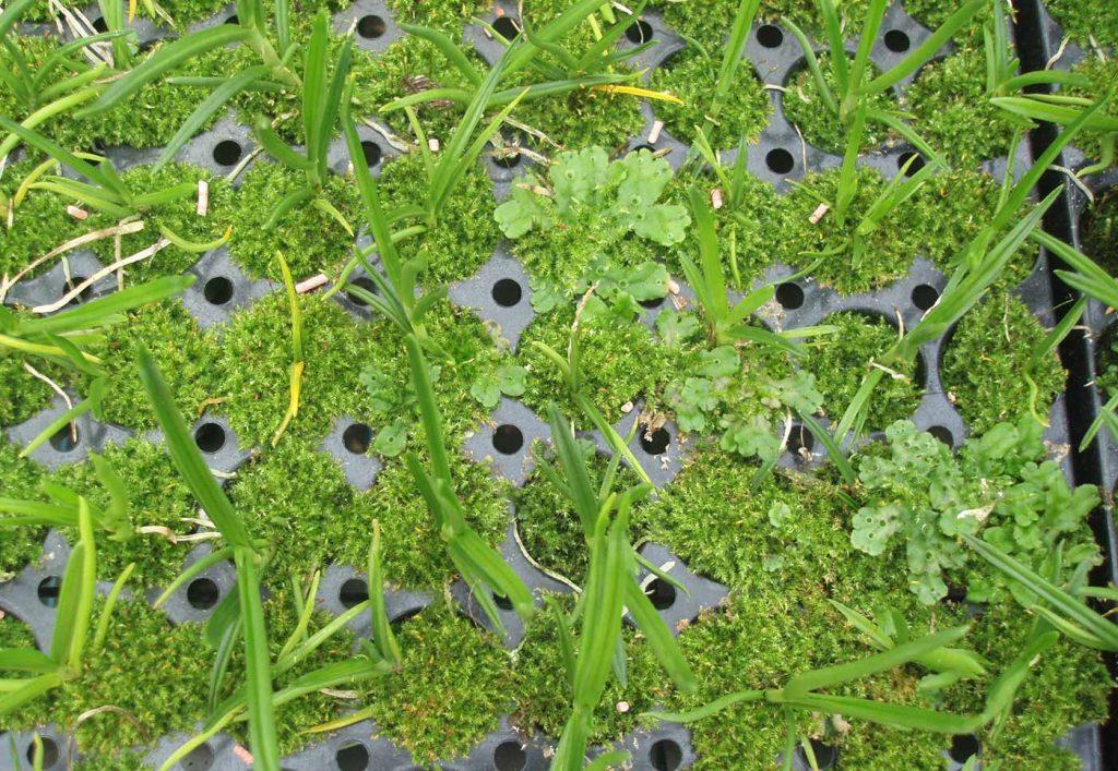 Cambria: Moos bei Jungpflanzen - © Holger Nennmann