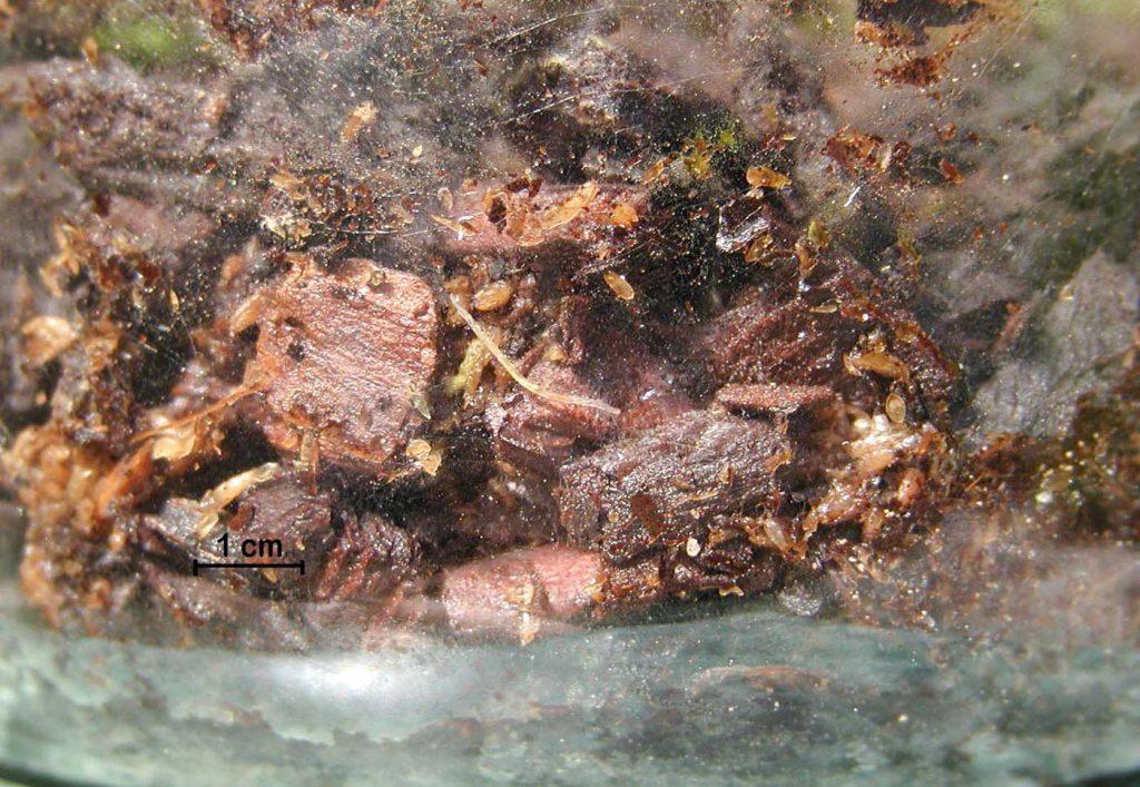 Platthornmücke (Orfelia) Larve - © Hark