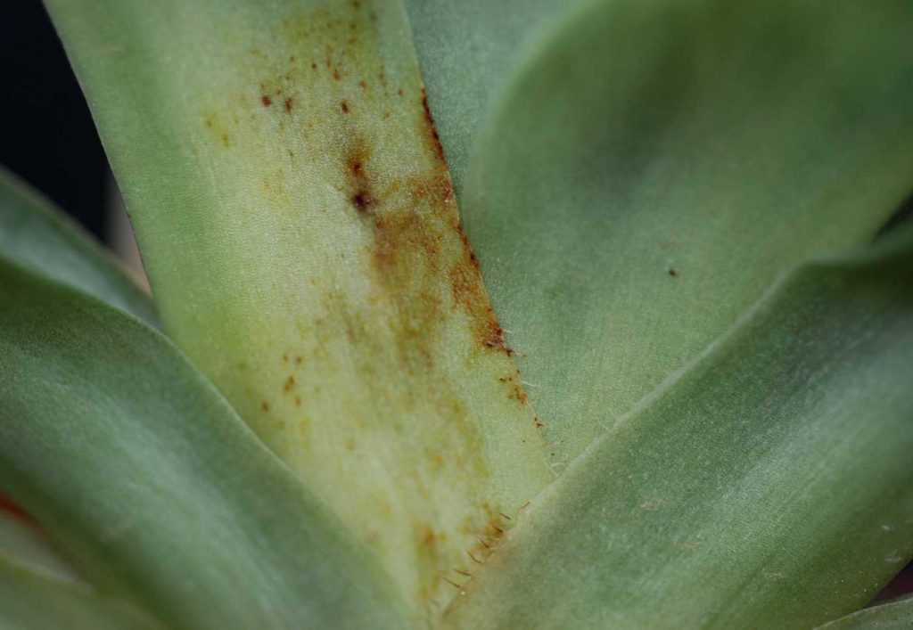 Paphiopedilum: Rhizoctonia solani - © Holger Nennmann