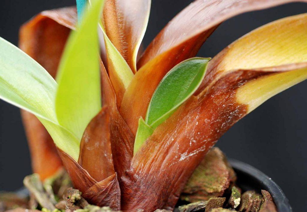Paphiopedilum: Erwinia cypripedii an Blattbasis - © Holger Nennmann