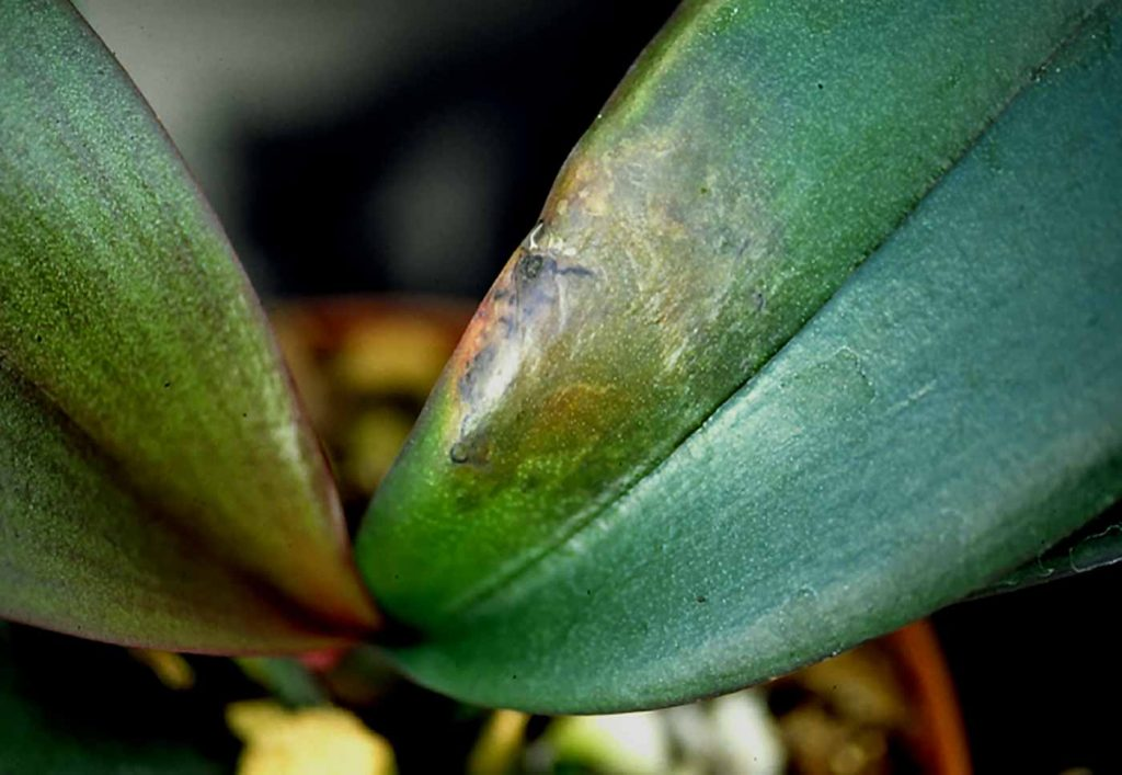 Phalaenopsis: Erwinia-Nassfäule - © Holger Nennmann