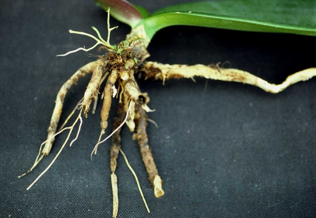 Phalaenopsis: Pythium-Wurzelfäule an Jungpflanzen - © Holger Nennmann