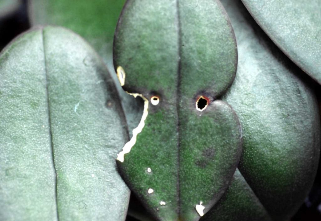 Phalaenopsis: Fraßschäden durch Mäuse - © Holger Nennmann