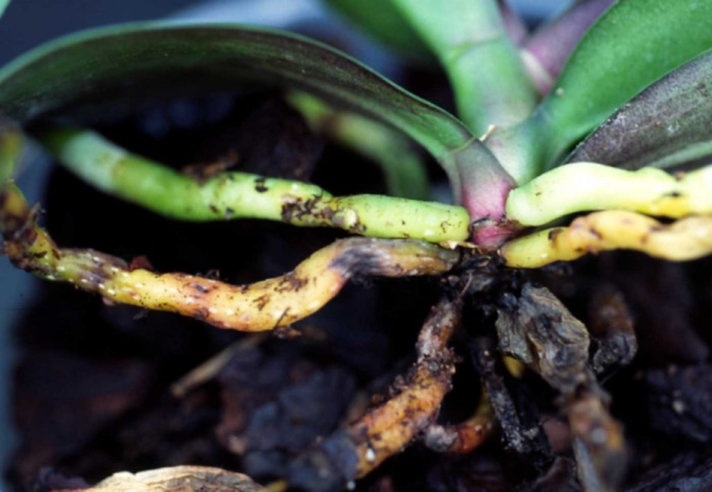 Phalaenopsis: Wurzelfäule, Fusarium oxysporum - © Holger Nennmann