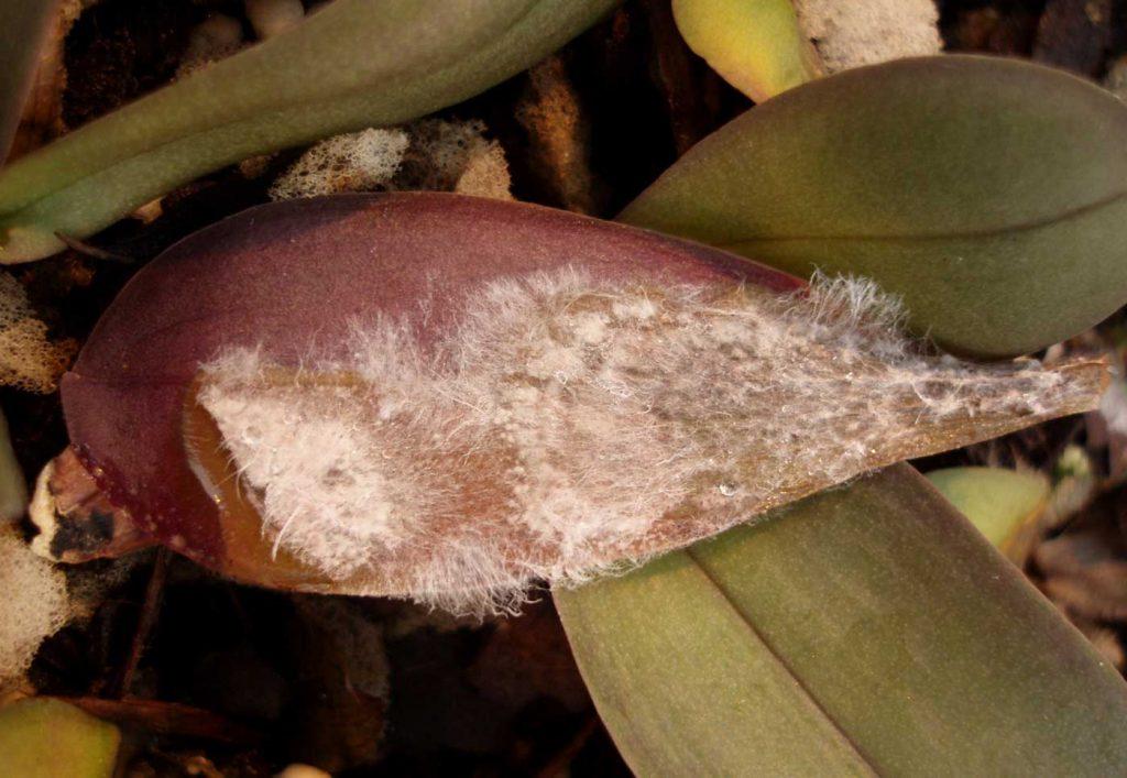 Phalaenopsis: Sclerotium rolfsii bei Jungpflanzen - © Holger Nennmann