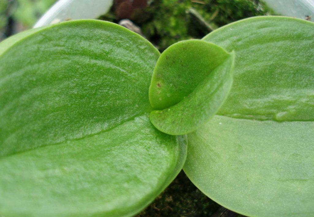 Phalaenopsis: Weichhautmilben - © Holger Nennmann