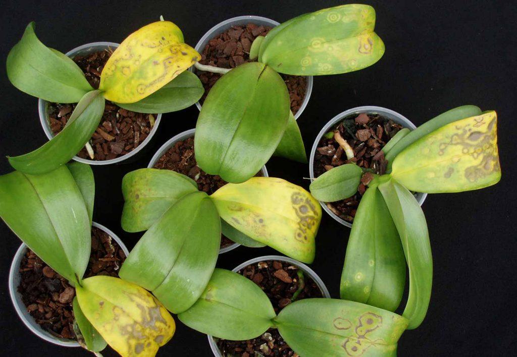 Phalaenopsis: Tospo-Virus - Chlorotische Ringmuster - © Holger Nennmann