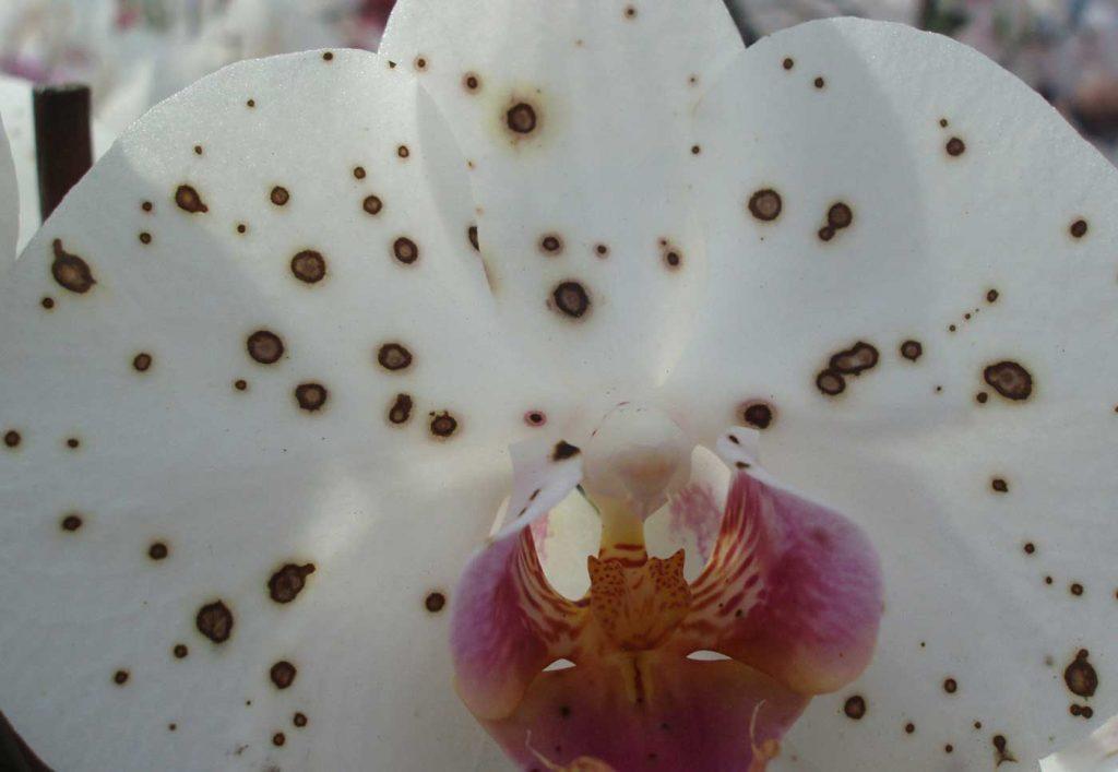Phalaenopsis: Botrytis cinerea an Blüte - © Holger Nennmann