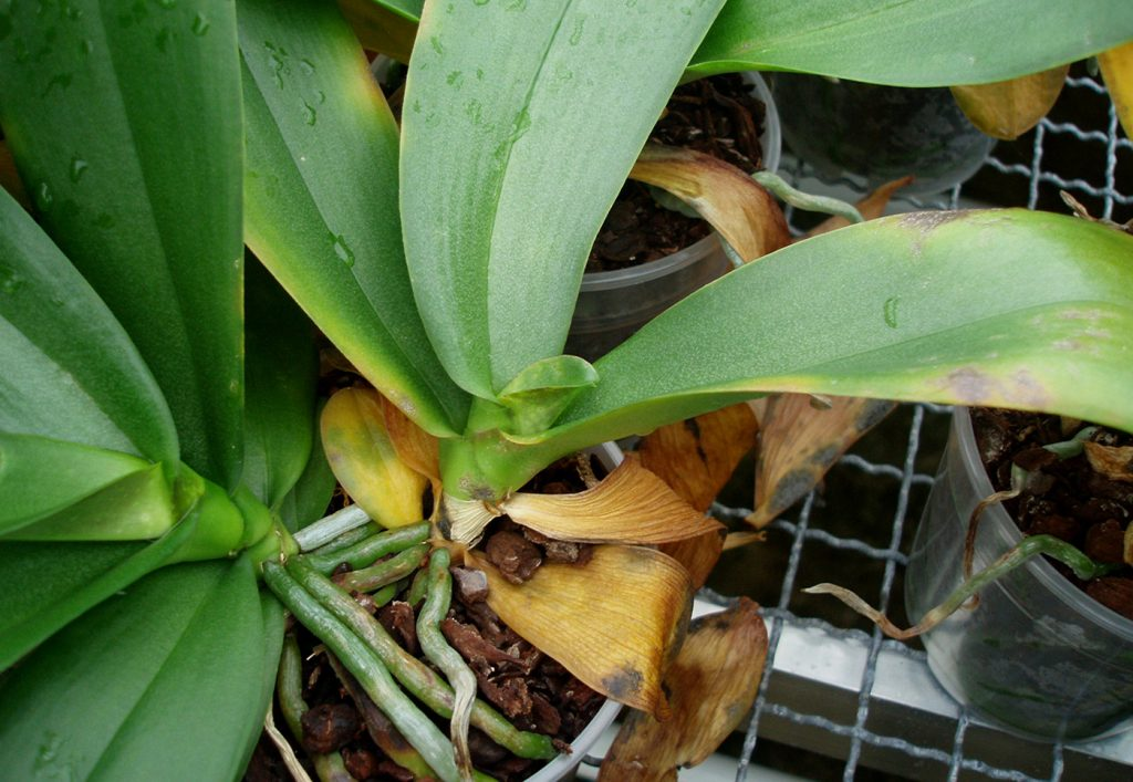 Phalaenopsis: Falsche Spinnmilben (Brevipalpus sp.) - © Holger Nennmann