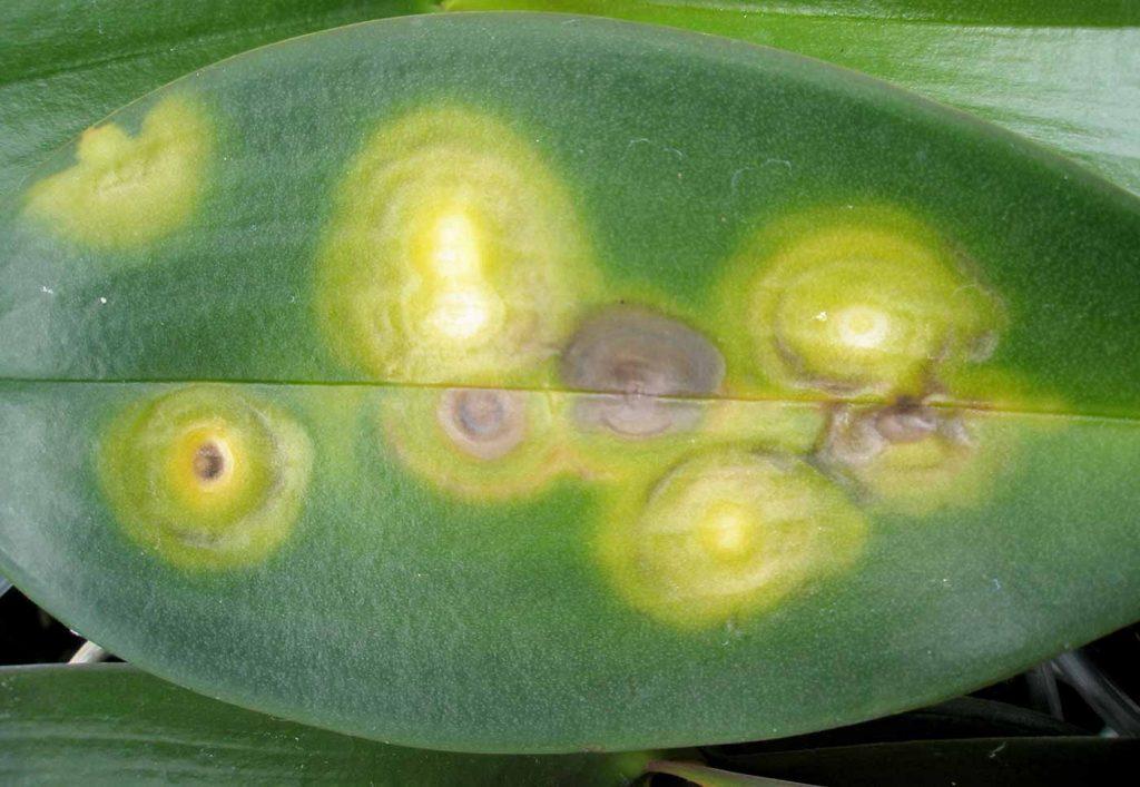 Phalaenopsis: Chlorotische Ringmuster, Verbrennungsgase, kein Virus - © Holger Nennmann