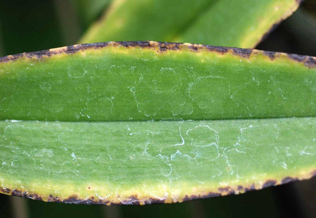 Phalaenopsis: Zu niedrige Temperaturen in Kühlung - © Holger Nennmann