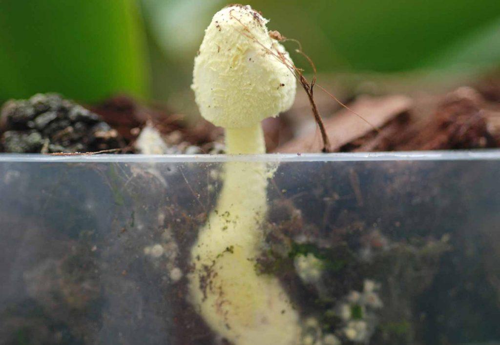 Gelber Faltenschirmling (Leucocoprinus birnbaumii), junger Fruchtkörper - © Holger Nennmann