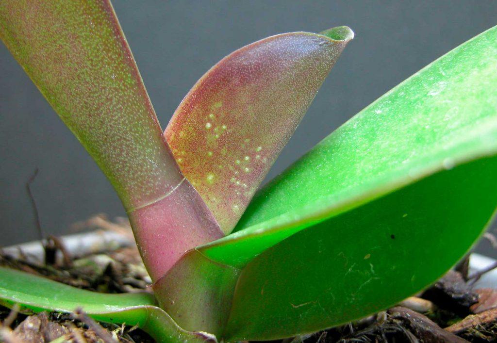 Phalaenopsis: Schäden durch Moosmilben - © Holger Nennmann