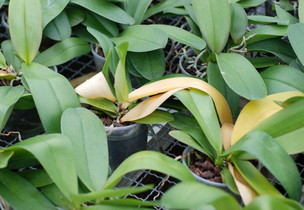Phalaenopsis: Fusarium-Fäule an Blattbasis - © Holger Nennmann