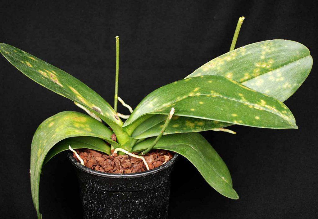 Phalaenopsis: Chlorotische Ringmuster, kein Virus - © Holger Nennmann