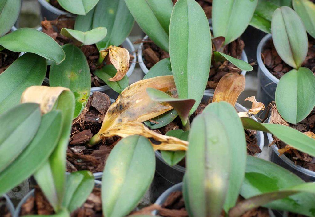 Phalaenopsis: Acidovorax avenae, Blattflecken - © Holger Nennmann