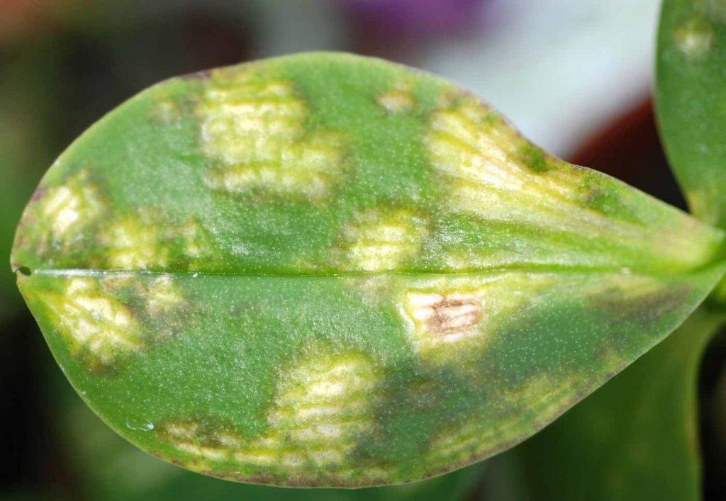 Phalaenopsis: Rhabdovirus (Orchid fleck virus) - © Holger Nennmann