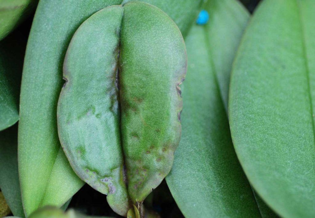 Phalaenopsis: Rhizoctonia solani, Blattsymptome - © Holger Nennmann