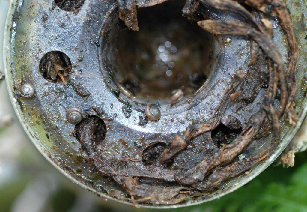 Gewächshaus-Glanzschnecke (Zonitoides arboreus) unter Töpfen - © Holger Nennmann