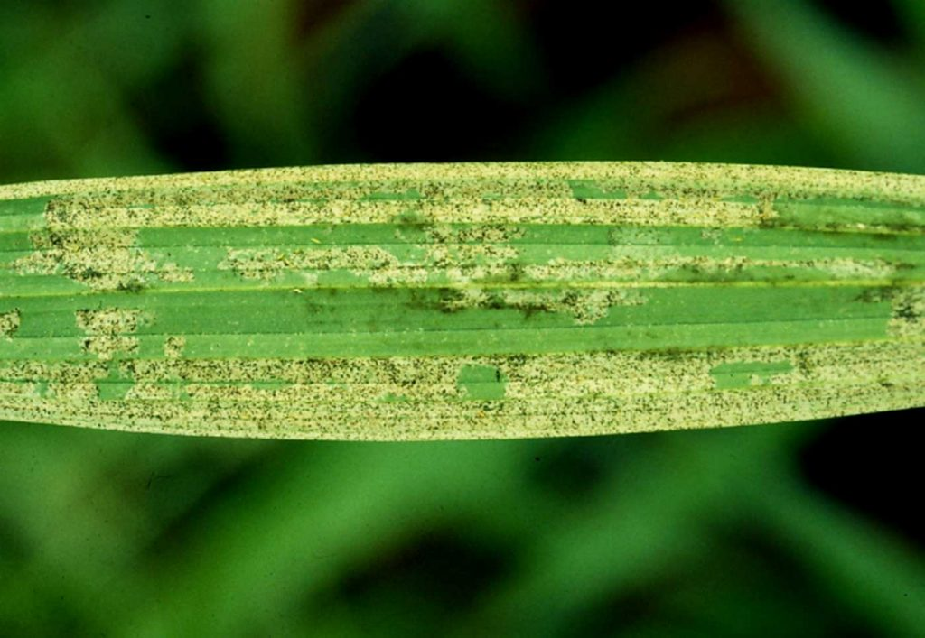 Spathoglottis: Amerikanischer Thrips (Echinothrips americanus) - © Holger Nennmann